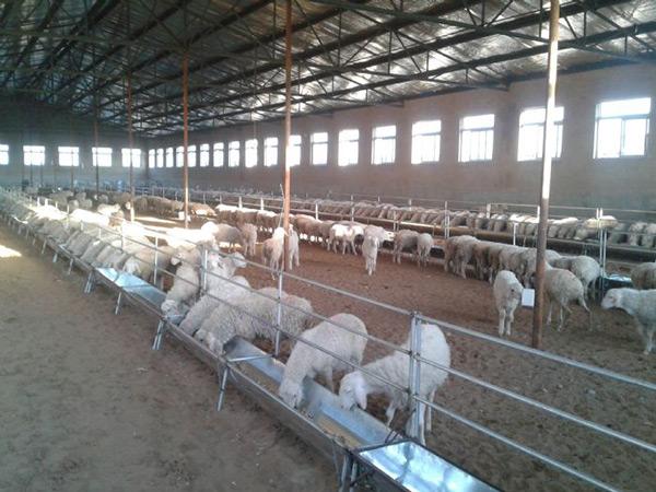 大型合作牧场-育成母羊